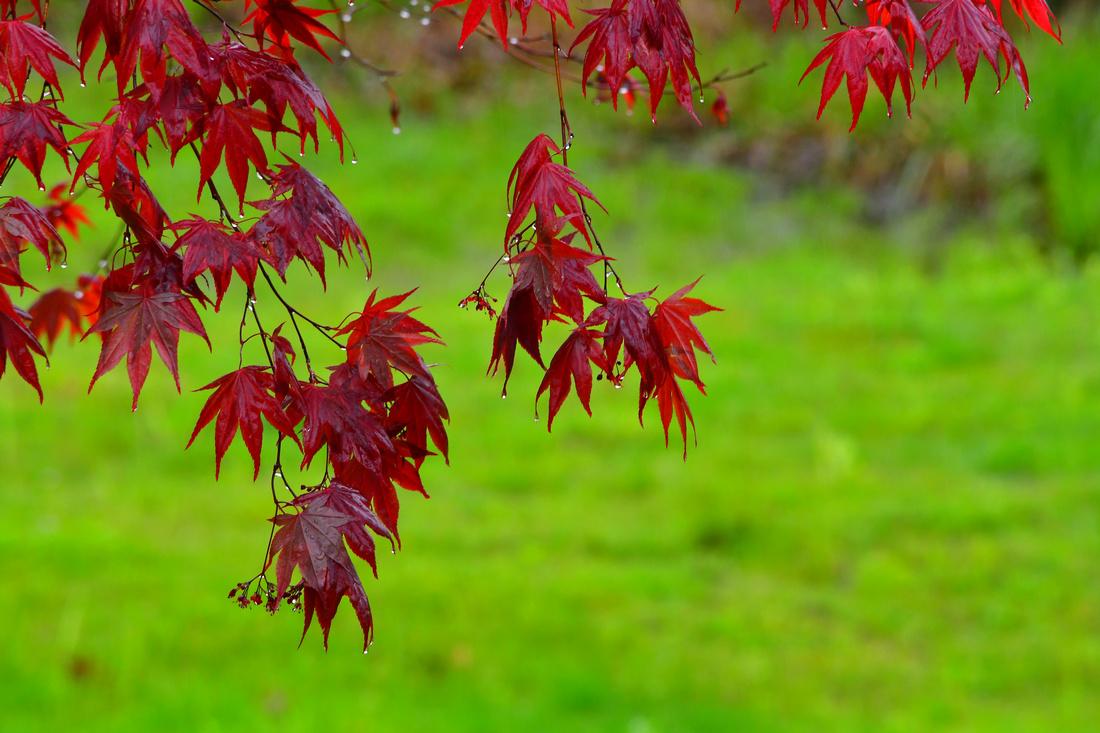 Wet Maple