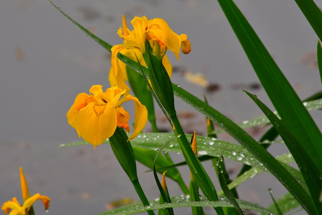 Wet Irises