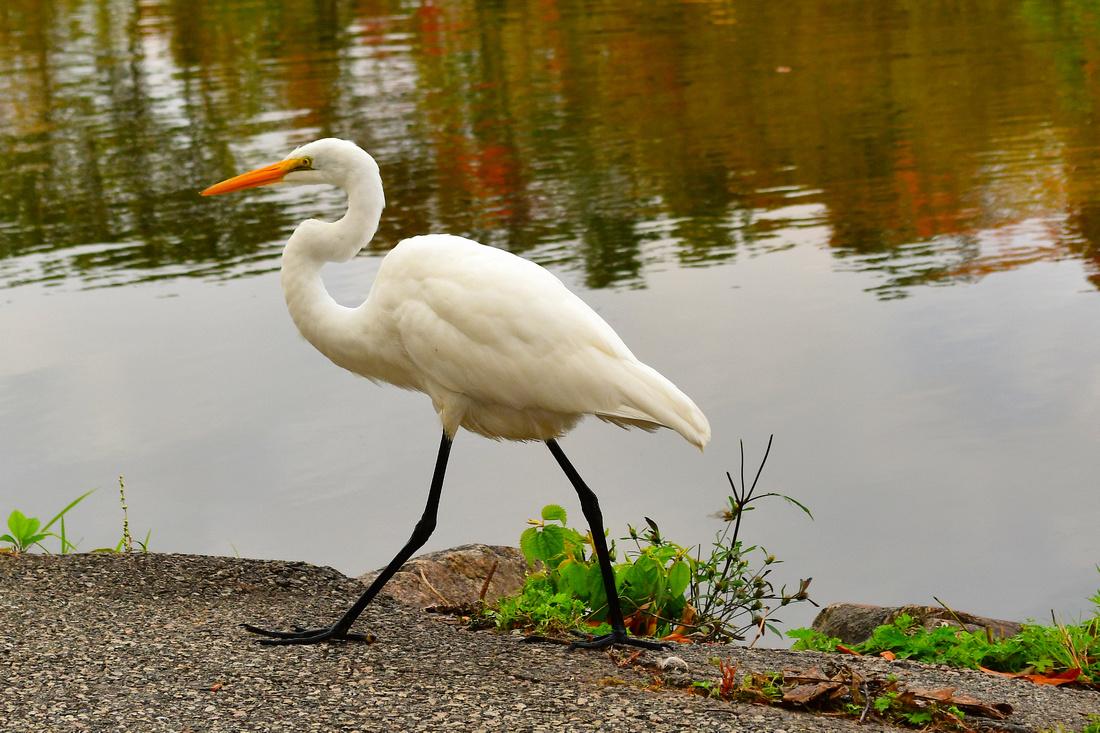 Egret Walking